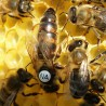 Matka pszczela karpatka, jednodniowka