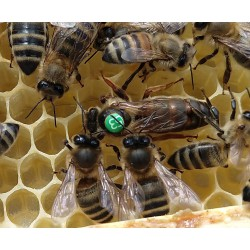 Matka pszczela Primorska, jednodniówka