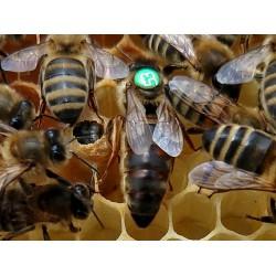 Matka pszczela primorska, unasienniona